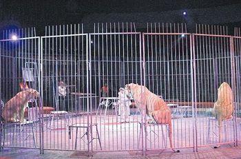 В днепропетровском цирке поселились африканские львы