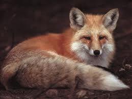 В Черкасской области вакцинируют лис