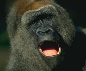 Киевский зоопарк собирает деньги на телевизор для гориллы