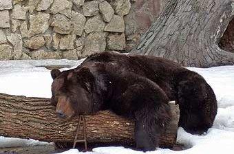 В Киевском зоопарке медведи принялись ломать берлоги