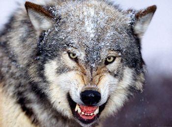 На Донбасс пришли голодные волки из России
