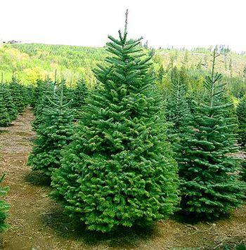 Лесники просят горожан покупать правильно срубленные деревья
