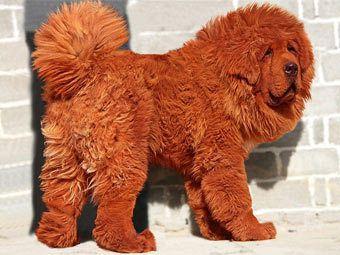 Китайский миллионер стал хозяином самого дорогого пса в мире