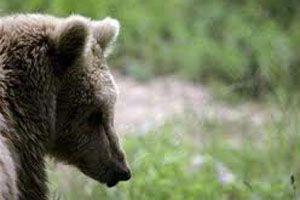 Луцкая медведица, которая разгуливала по селу, оказалась самцом