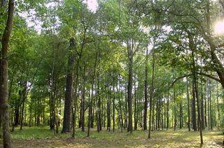 В 2015-м леса станет вдвое больше