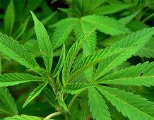 В Калифорнии арестованы марихуановые бабушки