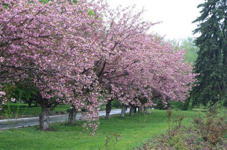 В Днепропетровске расцвели сакуры