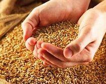 Днепропетровщина полностью обеспечила себя зерном