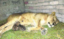 Мужчина, живя в клетке со львицей, принял у нее роды
