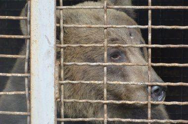 Медведицу Машу, которую держат на цепи, хотят отсудить у охотников