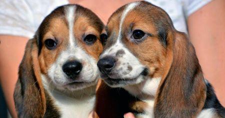 В США родились первые в мире щенки из пробирки (Фото)