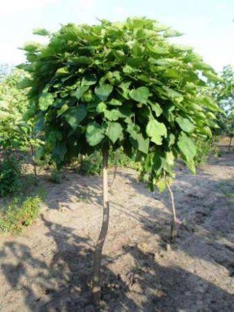Город-сад: сколько стоит посадить дерево?