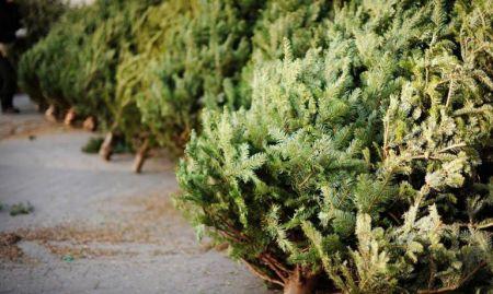 В Днепре будут работать более 70 официальных мест продажи елок
