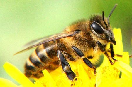 В Польше создали пчел-роботов для опыления растений